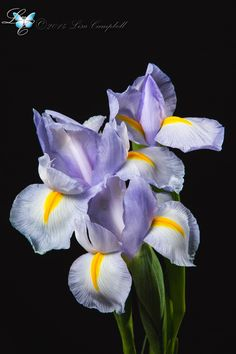 Purple Iris by Lisa Campbell on 500px