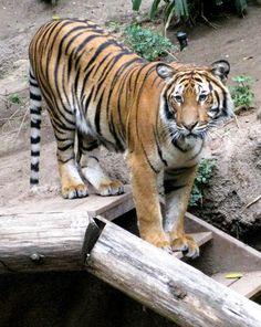 Tiger, San Diego Zoo.