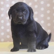 On pinterest labrador puppies for sale white lab and white labrador