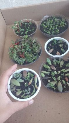 How to QUICKLY Root/Propagate Succulents From Leaves: 8 Steps (with Pictures) succulents container How to QUICKLY Root/Propagate Succulents From Leaves to propagating succulents succulents container Propogate Succulents, Propagate Succulents From Leaves, Succulent Cuttings, Succulent Gardening, Succulent Care, Succulent Terrarium, Cacti And Succulents, Planting Succulents, Container Gardening