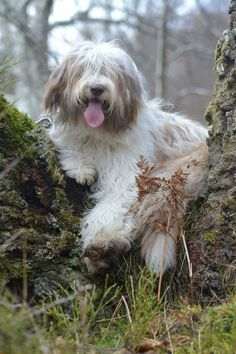 Bearded collie (hydie)