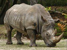 gambar badak nama hewan dari huruf B dari www.anakcemerlang.com