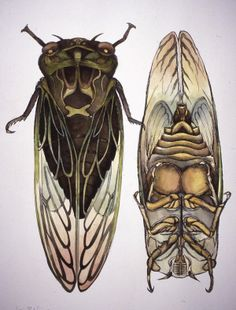 Dog Day Cicada from Visions of Science Series by Mary Louise McLean Bodenheimer, via Behance;