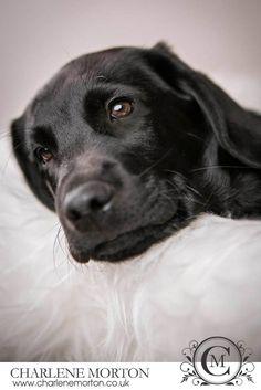 Black lab puppy photography