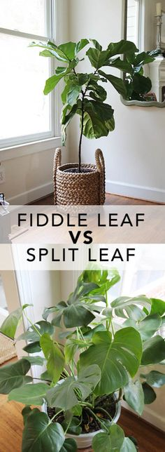 Who's queen of house plants now? See why a Split leaf philodendron can be the darling of interiors.