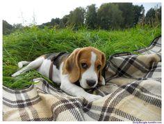 A Cute Beagle Miniature Image. I adore beagles! I have always had one.