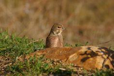 Aves pasareiformes. Foto de pardillo común. Castelldans, Cataluña. Carduelis cannabina.
