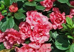 Double pink reblooming azalea - planted 8/3/12