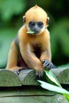 Le capucin, petit singe d'Amérique - Passion Animale
