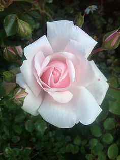 A favorite rose in our garden (New Dawn) from a favorite blog post http://blog.bilowzassociates.com/2012/01/natures-crescendo.html because two things I'm crazy about - music and plants!
