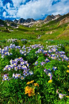 Blue columbine wildflowers, American Basin, San Juan Mountains (range of the Rocky Mountains), Southwest Colorado USA , been there just beautiful :) San Juan Mountains, Colorado Mountains, Rocky Mountains, Colorado Usa, Camping Spots, Camping Gear, Mountain Range, Mountain High, Beautiful Landscapes