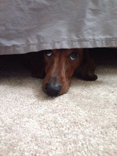 "I've seen this look from the ""under the bed lair"" countless times ;)  #dachshund"