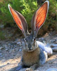 Check out the ears on this rabbit!