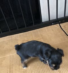 Yorkshire Terrier puppy for sale in HOUSTON, TX. ADN-72163 on PuppyFinder.com Gender: Male. Age: 4 Weeks Old