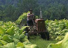 TENNESSEE TOBACCO FARM - Google Search