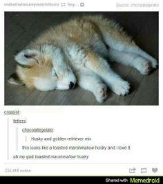 Toasted marshmallow husky