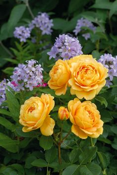 12 Tips for Designing Beautiful Rose Beds | HGTV