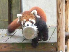 Red panda his food bowl filled now!