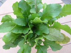 How to Grow Organic Arugula Several easy, early varieties you can grow from seed