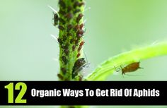 12 Organic Ways To Get Rid Of Aphids