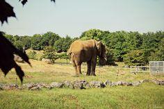 Eléphant - Zoo Parc Beauval, Loir-et-Cher, France - 21 Juillet 2013