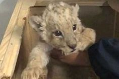 The police in the city of Tijuana, Baja California, found a package with a baby lion inside at the sorting office of a courier company. According to eyewitnesses to the incident, the wild animal was found in a wooden container by a service dog during a random postal screening by National Guard officers. The lion cub was handed over to the Ensenada Municipality Zoo, and the sender of the live parcel was immediately p