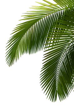 'Tropical Palm Leaves' Poster by Palm Tree Leaves, Tropical Leaves, Palm Trees, Plant Leaves, Green Leaves, Palm Tree Art, Monstera Leaves, Freetime Activities, Plant Wallpaper