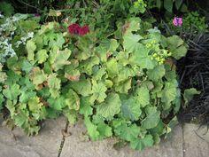 14. Alchemilla mollis Alchemilla Mollis, Herbaceous Border, Burgundy Color, Hyde, Color Themes, Vegetables, Decor, Decoration, Maroon Color