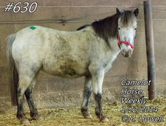 #630 is a gray and white POA mare pony. She's 6 years old and about 11 hands. She rides and drives. Nice manners and easy going. $250  Total w/fees/tax $390.50