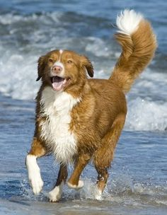 Didn't even know this breed existed. Nova Scotia Duck Tolling Retriever. Look at that tail--glorious!