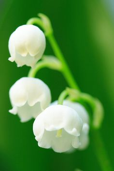 Lily of the Valley.... Return of happiness, purity of heart, sweetness, tears of the Virgin Mary, you've made my life complete, humility, happiness, love's good fortune. The legend of the lily of the valley is that it sprang from Eve's tears when she was kicked out of the Garden of Eden. It is also believed that this flower protects gardens from evil spirits. Also known as the flower of May.