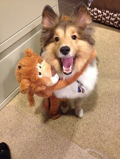 Harry, the Shetland Sheepdog, loves his new friend!