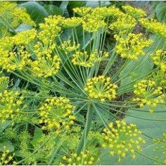 Cheap vanilla seeds, Buy Quality dill seeds directly from China fennel seeds Suppliers: France dill seed / Fennel / vanilla seeds / French essential spices can stomach chills Home Garden Plants, Herb Garden, Vegetable Garden, Fennel Seeds, Organic Vegetable Seeds, Organic Vegetables, Flowers Perennials, Planting Flowers, Perennials