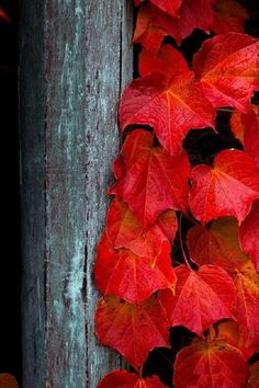 Fall in love with all the beautiful fall colors Red Leaves, Autumn Leaves, Maple Leaves, Autumn Nature, Autumn Fall, Seasons Of The Year, Shades Of Red, Belle Photo, Mother Nature