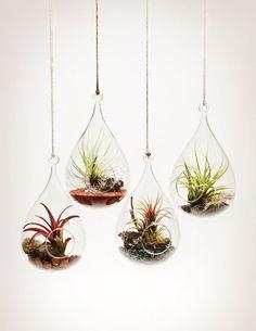 9 air plants - phyt