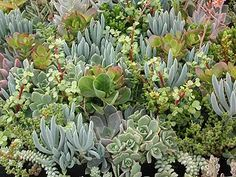 Create magic all over the garden by adding interesting colors and shapes with soft succulents.