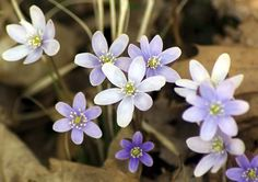 sharp-lobed hepatica (Anemone acutiloba) - Photo by Wayne Rasmussen - http://minnesotaseasons.com/Plants/sharp-lobed_hepatica.html