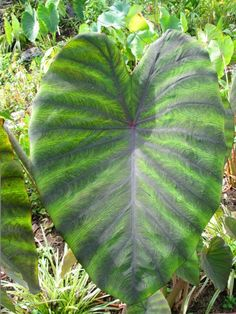 Have always been a huge fan of elephant ears so was excited to learn about Colocasia 'Madiera,' which is hardy in zones 6-11.