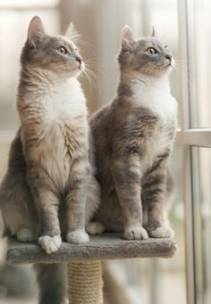 If you're looking to adopt a feline companion, you have a lot of choices to make. One of the most important is whether to get a kitten or adult cat. Both kittens and mature felines have their pros and cons. Animal Gato, Amor Animal, Mundo Animal, Pretty Cats, Beautiful Cats, Kittens Cutest, Cats And Kittens, Kittens Meowing, Black Kittens