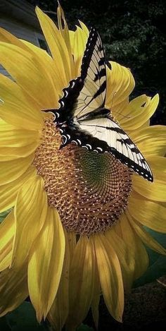 Image in Butterfly World collection by Cristela Uploaded by Cristela. Find images and videos about butterfly sunflower and flowers on We Heart It - the app to get lost in what you love. Sunflowers And Daisies, Beautiful Flowers, Sun Flowers, Yellow Flowers, Flying Flowers, Beautiful Gorgeous, Simply Beautiful, Absolutely Stunning, Mellow Yellow