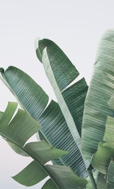 laurence name wallpaper * laurence name & laurence name meaning & laurence name wallpaper & laurence baby name Tropical Plants, Tropical Leaves, Leaf Photography, Close Up Photography, Plant Aesthetic, Plant Wallpaper, Leaf Background, Plant Art, Backdrops