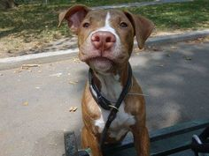 TO BE DESTROYED - 08/07/14 Manhattan Center -P My name is MARCO. My Animal ID # is A1008564. I am a male br brindle and white pit bull mix. The shelter thinks I am about 1 YEAR 1 MONTH old.  I came in the shelter as a STRAY on 07/30/2014 from NY 10039, owner surrender reason stated was STRAY.