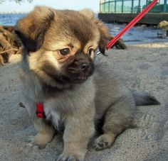 The Daily Puppy Snickers the Tibetan Spaniel