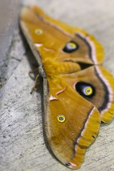 Polyphemus moth.  I found one of these in my backyard once.