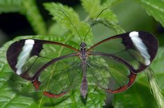 Mariposa de cristal, Greta oto Este lepidóptero de la familia Nymphalidae tiene como mayor particularidad sus alas transparentes.
