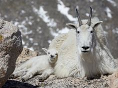 Mountain Goat Nanny and Kid, Mount Evans, Colorado, by James Hager