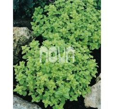 Majorana hortensis / Majoránka záhradná ´MARIETTA/MARCELKA´, bal. 0,35 g Parsley, Ale, Herbs, Food, Ale Beer, Essen, Herb, Meals, Yemek