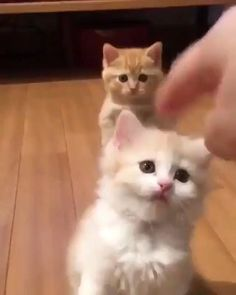 Check this satisfying cat and kitten video - Cutest Baby Animals Kittens And Puppies, Baby Kittens, Kittens Cutest, Cats And Kittens, Funny Puppies, Siamese Cats, Cute Baby Cats, Cute Funny Animals, Cute Baby Animals