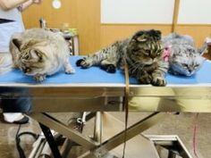 嫌な予感がするわね…… I got a bad feeling. スコテッシュフォールド 三色兄弟右からはなび♀まりも ♂あずき♀予防接種です。 Scottish Fold triplets inoculate DPT vaccine at a veterinary clinic Canning, Home Canning, Conservation