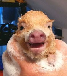 A happy and clean piggy!! #happy and #clean #ilovepigs